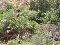 Date palms in Wadi Atiyyah