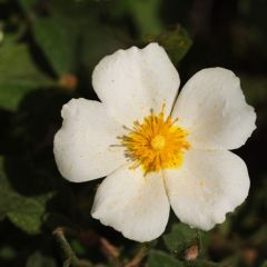 Cistus salvifolius ~ White Rock-Rose